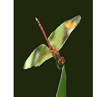Red Skimmer or Firecracker Dragonfly Isolated Photographic Print