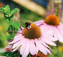 Echinacea Purpurea with Bee 5 by jojobob