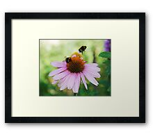 Echinacea Purpurea with Bees  Framed Print