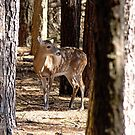 Deer in the Woods by Photography by TJ Baccari