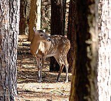 Deer in the Woods by imagetj