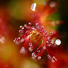 Sundew Fantasy by Nancy Barrett