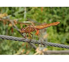 Female Red Skimmer Dragonfly  Photographic Print