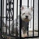 Westie on look out. by emanon