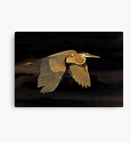 051109 Great Blue Heron Canvas Print
