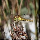Brown Dragonfly On Husks With Garden Background by taiche