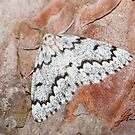 False Hemlock Looper Moth IMG_3605 by DigitallyStill