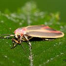 Painted Lichen Moth IMG_3271 by DigitallyStill