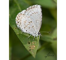 Spring Azure Butterfly IMG_2429 Photographic Print