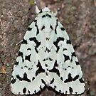 Green Marvel Dagger Moth IMG_1121  by DigitallyStill