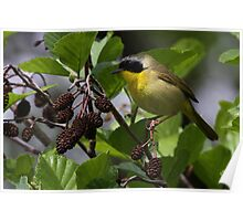 Common Yellow Throat Warbler 5 Poster