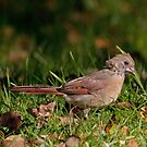 Juvenile Female Northern Cardinal  by DigitallyStill