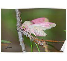 Primrose Moth Poster