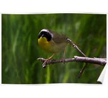 Common Yellow Throat Warbler 6 Poster