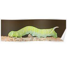 Hawk-moth / hornworm moth caterpillar Poster
