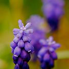 Grape Hyacinth by Pamela Hubbard