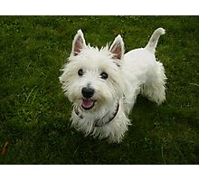 Super West Highland White Terrier Photographic Print