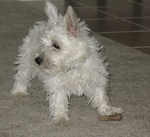 Young West Highland White Terrier