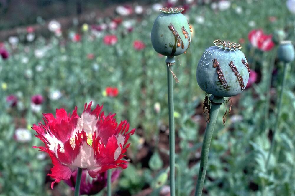 Opium by John Spies