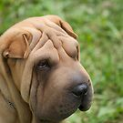 Shar-Pei by Zachary Golus