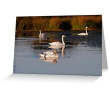 Swans,  at Margrove Park,  NYM  National Park Greeting Card