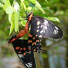 Butterfly mating in the garden by AravindTeki