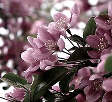 Spring Has Scent of Cherries by DanaMS