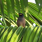 Myna Leaguer by Gary  Oertel