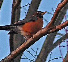 Red Robin in a Japanese Maple by Gilda Axelrod