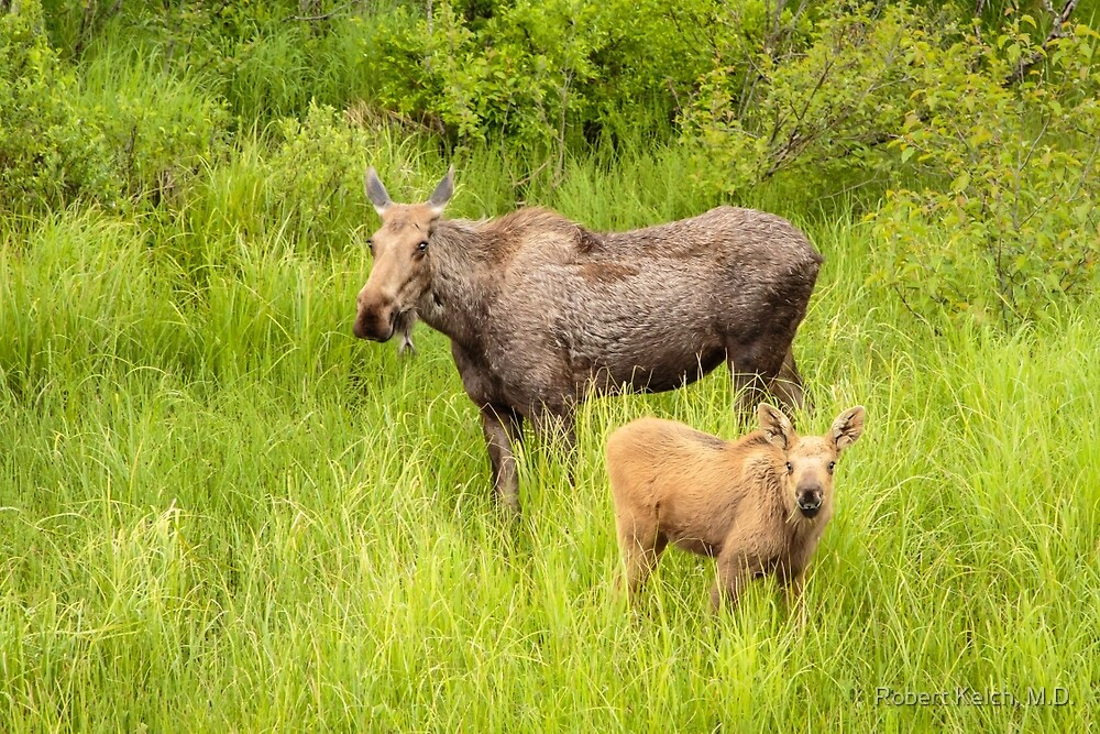 Mother Moose and Calf - Kenai Peninsula by Robert Kelch, M.D.