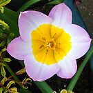 Mauve Tulip with Gold Centre by MidnightMelody