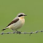 Northern Wheatear - III (Oenanthe oenanthe) by Peter Wiggerman