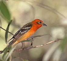Flame-colored Tanager by tomryan