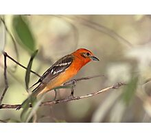 Flame-colored Tanager Photographic Print