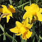Daffodils Dreaming by kathrynsgallery