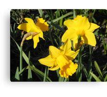 Daffodils Dreaming Canvas Print