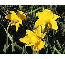 Daffodils Dreaming Photographic Print