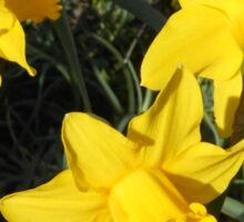 Daffodils Dreaming Sticker
