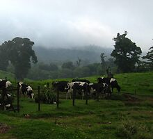 Cows  Clouds and Fog  by Elaine  Manley