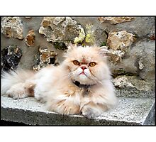 Sweet Persian cat Photographic Print