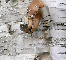 Birch Bark by Judith Hayes