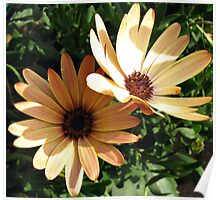 Sunlight and Shadow - Two Peach Cape Daisies Poster