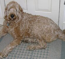 Well-trained Labradoodle by welovethedogs