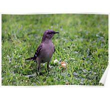 *Northern Mockingbird- Mimus polyglottos* Poster