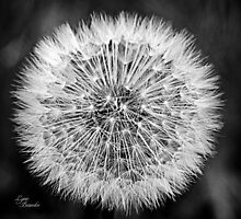 Dandelion Seeds by Lynn Bawden