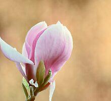 Pink Magnolia by shalisa