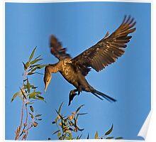 051209 Double Crested Cormorant (Juvenile) Poster