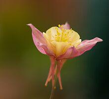 Aquilegia flower by Jon Lees
