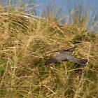 Cuckoo in flight by Jon Lees