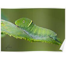 Canadian Tiger Swallowtail Caterpillar Poster